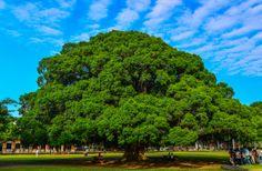 Banyan Tree, NCKU, Tainan #Taiwan
