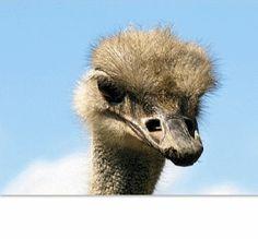 Анимация Голова страуса выглядывает из окошка (© Akela), добавлено: 20.03.2015 00:57