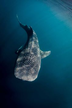 Beautiful Whale Shark. Rhincodon typus. The biggest fish in the world, feeds on the tiniest of creatures.