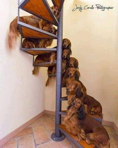 Stairs full of dachshunds Dachshund Puppies, Weenie Dogs, Daschund, Dachshund Love, Cute Puppies, Cute Dogs, Dogs And Puppies, Doggies, Dapple Dachshund
