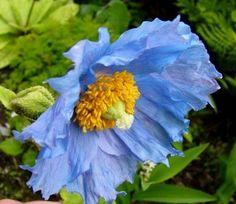 meconopsis-Horridula-Prattii-Poppy-Seeds