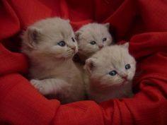 British Shorthair Kittens, Cattery Daisy's Casita, The Netherlands
