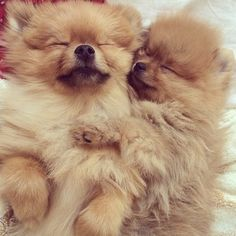 This is why I end up with Pomeranians.....they are irresistibly cute :)