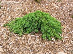 Dwarf Japanese Garden Juniper 'Nana' (Juniperus procumbens)