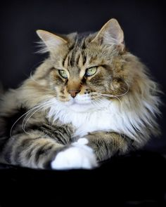Maine Coon King Borys - Dorv SamotnaGwiazda*PL - photo gallery of Shedoros cattery