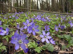 ( Sinivuokko ) Common hepatica, anemone hepatica in Finland. Woodland Flowers, Forest Flowers, Tree Forest, Spring Flowers, Blue Flowers, Wild Flowers, Forest Painting, Forest Garden, Spring Sign