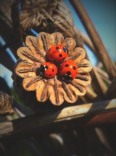 3 ladybugs on poppy seed pod