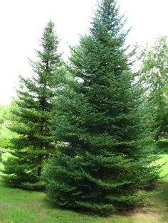 phanerolepis - bracted balsam fir, Canaan fir : The Dawes Arboretum Trees And Shrubs, Trees To Plant, Balsam Fir Tree, Spruce Tree, Moon Photography, Patio Plants, Tree Forest, Big Tree, Photo Tree