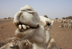 Camels, tigers, turtles, a giant stag beetle and more in animal views - The Washington Post