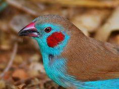 red-cheeked cordon bleu- male  http://en.wikipedia.org/wiki/Red-cheeked_Cordon-bleu