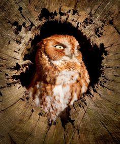 Eastern screech owl, red morph (Megascops asio ) by Steve Elwood