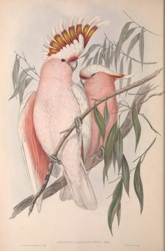 https://flic.kr/p/Y3eBMs | n15_w1150 | The birds of Australia.. London,Printed by R. and J. E. Taylor; pub. by the author,[1840]-48.. biodiversitylibrary.org/page/48400938