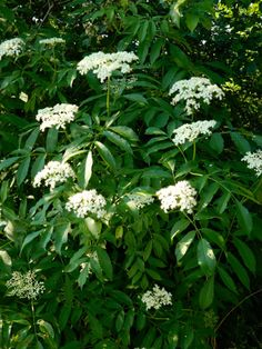 American Elderberry / Sambucus canadensis / The flowers and ripe fruit are very edible, though other parts of the plant including the unripe berries are toxic. Can get 12 ft high.
