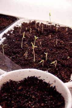 Foolproof way of germinating seed for your garden!