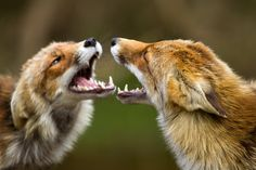Is it a mirror of not? - Two red foxes arguing over??