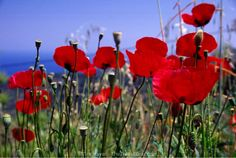 The color of the poppies Samos, Poppies, Greece, Rose, Flowers, Plants, Traveling, Students, Sign