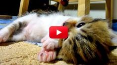 Rocky the kitten is getting sleepy, but he just doesn't want to stop playing! Watch him drift into dreamland in this precious video.