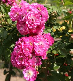 Köynnösruusu Perennial Blue Perennials, Rose, Flowers, Plants, Pink, Plant, Roses, Royal Icing Flowers, Perennial