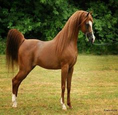 Arabian --- almost looks like a statue... perfection!