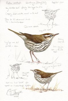 Northern Waterthrush St Marys Isles of Scilly