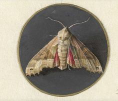 Owlet Moth, By Jan Augustin Van Der Goes, Dutch Painting, Gouache On Parchment. Poster Print x Botanical Art, Botanical Illustration, Bugs And Insects, Nature Prints, Natural History, Art History, Creepy, Canvas Art, Gouache