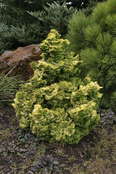 GOLDEN DWARF HINOKI CYPRESS  Chamaecyparis obtusa 'Nana Lutea'  evergreen  3x3 ft. (at 10 yrs)  light to open shade  drought tolerant when established