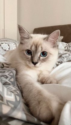Cute Baby Cats, Cute Little Animals, Cute Cats And Kittens, Cute Funny Animals, Kittens Cutest, Funny Cats, Kittens Meowing, Lps Cats, Siamese Kittens