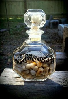 Wet specimen preserved king snake in an antique perfume bottle oddity taxidermy in Sporting Goods | eBay