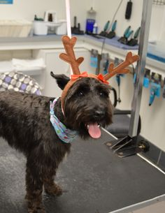 reindeer antlers on cute schnauzer