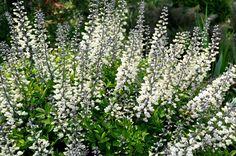 Baptisia alba var. macrophylla  (Larisey) Isely     Mjölkfärgväppling