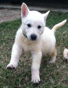 Nova, adorable white German Shepherd puppy ♥