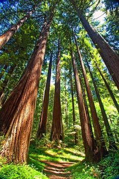 Henry Cowell Redwoods State Park is a state park near Santa Cruz, California that is beloved for it's old growth redwood groves that date back. Santa Cruz California, California Dreamin', Felton California, Santa Cruz Redwoods, Santa Cruz Camping, Camping In Maine, Redwood Forest, Camping Lights, Camping World