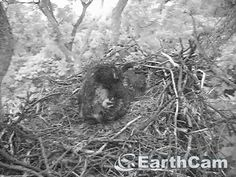 Check out Eagle Cam in Washington, DC, United States. http://www.earthcam.com/usa/dc/eagle/ we don't think it will be much longer before they will be ready to fly.