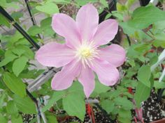 Some of our plants just can't wait to start blooming, like this clematis! May 23rd, 2014.