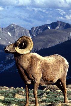 Bighorn Sheep, Colorado, United States