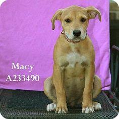 Conroe, TX - Pit Bull Terrier Mix. Meet MACY, a dog for adoption. http://www.adoptapet.com/pet/11189070-conroe-texas-pit-bull-terrier-mix