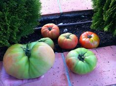 ¿Sabes lo que es cenar un buen tomate en verano con una pizca de sal y un chorrito de aceite? ¡Pues mirar los tomates que vende este productor de Cantabria! http://www.hermeneus.es/Ppa/lacolina
