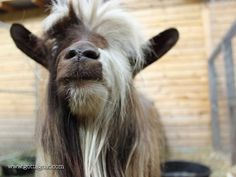 Information about our Miniature Silky Fainting Goat buck, San Sujo Buster Brown, at GottaGoat Farm. Fainting Goat, Goats, This Is Us, Miniatures, Brown, Character, Animals, Animales, Animaux