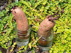Growing Sweet Potato Vines | Garden Experiment: Growing Your Own Sweet Potato Vine?