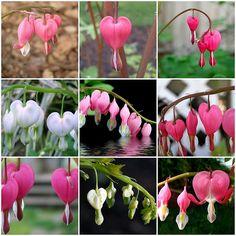 I love the fern-leaf bleeding hearts ...mine are pink.  Bleeding Hearts! These are going in my garden.