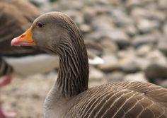 Goose ( @ WWT UK)