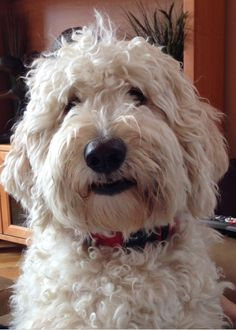 Fluffy Animals, Cute Animals, I Love Dogs, Cute Dogs, Big Dog Little Dog, Australian Labradoodle, Old English Sheepdog, Smiling Dogs, Dogs And Puppies
