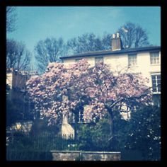 Spring blossom in Hampstead