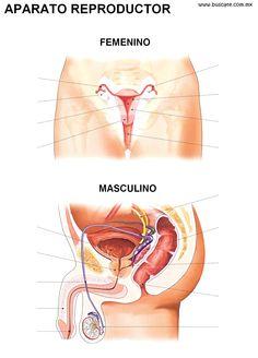 Esquemas de los aparatos reproductores femenino y masculino en color. Sin nombres de sus partes, para completar. Menstrual Cup, Student Studying, Medical Students, Reflexology, Body Parts, Human Body, Education, Female, Health