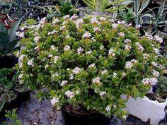 planta de jade caracter sticas riego y cuidados la planta de jade crassula ovata tambi n. Black Bedroom Furniture Sets. Home Design Ideas