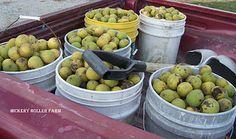 How to harvest black walnuts