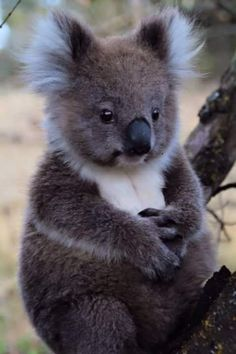 Adorable koala by Marie from Nitzsch & Hans Maxx Conrads - Near Portland, Fitzr . - Adorable koala by Marie von Nitzsch & Hans Maxx Conrads – Near Portland, Fitzroy River, VIC / via - Cute Creatures, Beautiful Creatures, Animals Beautiful, Nature Animals, Animals And Pets, Strange Animals, Wild Animals, Animals Images, Cute Baby Animals
