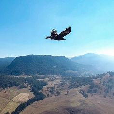 Wedge Tail Eagle flying high over the sky of the scenic rim