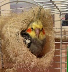 My little cockatiel is cozy and ready to go to bed