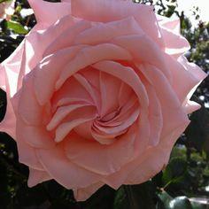 Capucci rosa. Parco dei Cimini